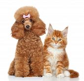 foto of poodle  - Toy poodle and MaineCoon kitten on white background - JPG