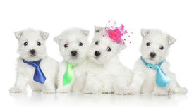 picture of westie  - Four West Highland White Terrier puppies on white background - JPG