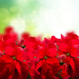 foto of poinsettia  - scarlet poinsettia flower or christmas star isolated in green garden - JPG