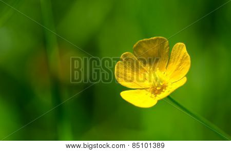 A Lonesome Buttercup