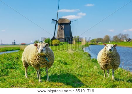 Sheep grazing near a dyke in the Netherlands on a sunny spring day