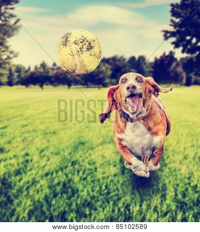 basset hound running to try and catch a tennis ball in mid-air toned with a retro vintage instagram filter app or action effect (focus on the ball) VERY shallow depth of field