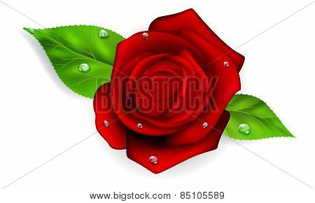 Red Rose With Drops
