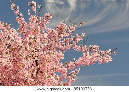 Pink cherry blossoms with blue sky background