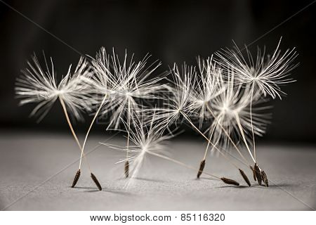 Macro closeup of dandelion seeds standing up on gray and black background
