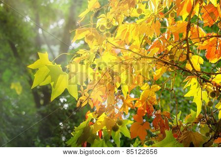 Colorful foliage-autumn leaves in forest