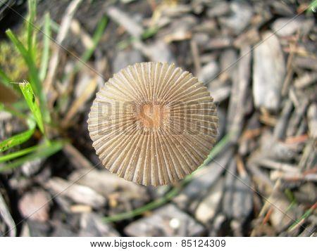 Mushroom on Maine Lawn