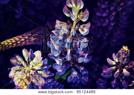 Beautiful smelling purple garden lupine.