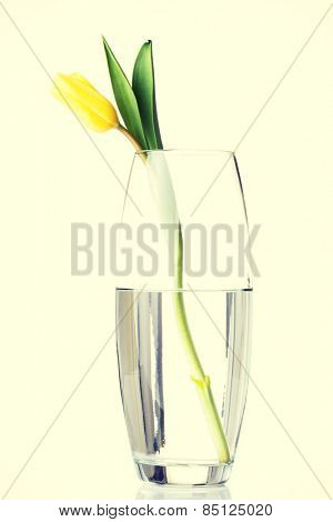 One separated tulip flower in wase with water.