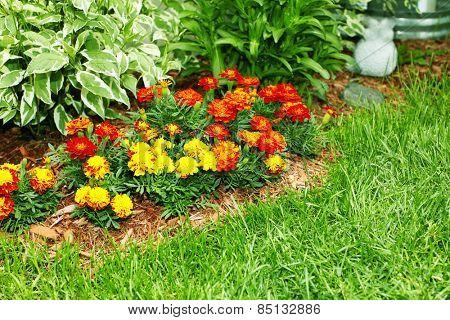 Beautiful marigold flowers in the garden.