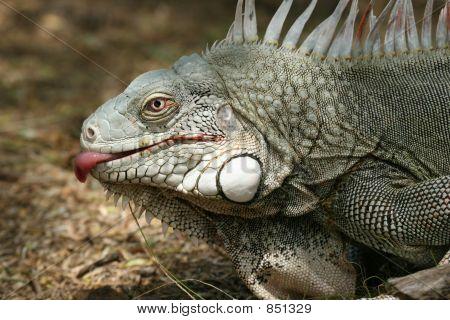 Licking iguana