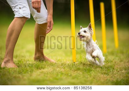 Cute little dog doing agility drill - running slalom, being obediend and making his master proud and happy