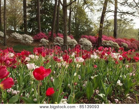 Azaleas and Tulips in Full Bloom