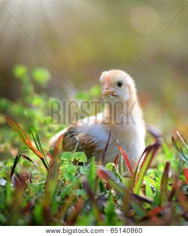 Chicken Chicken stands in the courtyard near the grassstands in the courtyard near the grass
