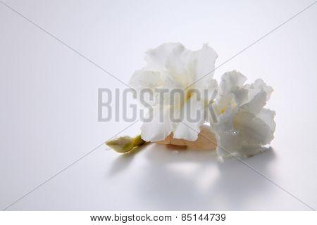jasmine flower resting a tiny stone