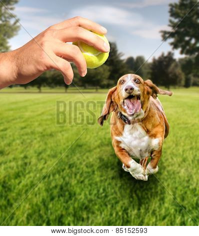 basset hound running to try and catch a tennis ball in mid-air (focus on the ball) VERY shallow depth of field