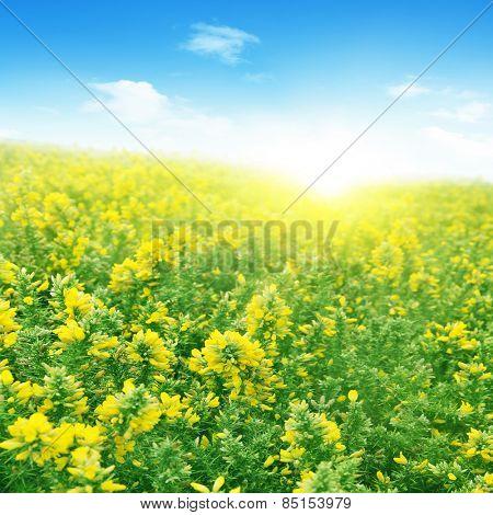 Wildflower field under blue sky and sunlight.