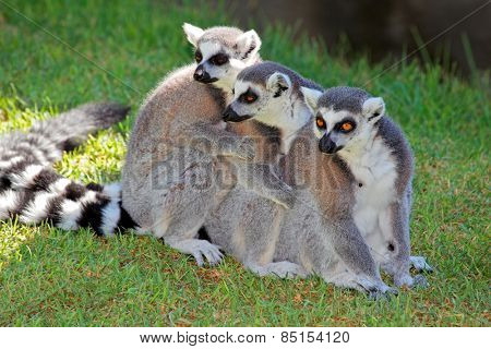 A family of ring-tailed lemurs (Lemur catta), Madagascar