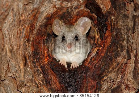 An Acacia tree rat (Thallomys paedulcus) sitting in a hole in a tree, South Africa