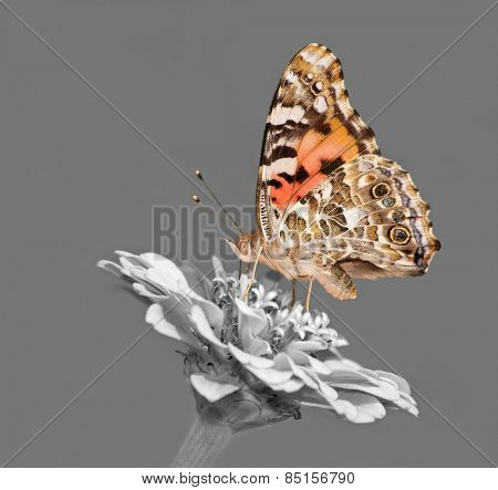 Painted Lady butterfly feeding on a Zinnia flower - color spot on black and white