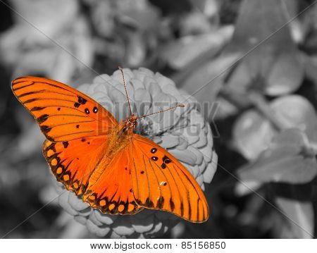 Dorsal view of a Gulf Fritillary butterfly feeding on a Zinnia; color spot on black and white