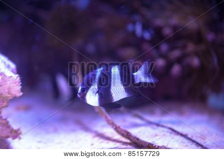 Whitetail dascyllus (Dascyllus aruanus) in Okinawa Churaumi Aquarium, Japan