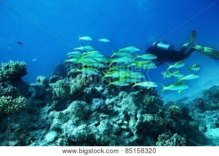 Scuba diver  in  blue water. Many coral fish.