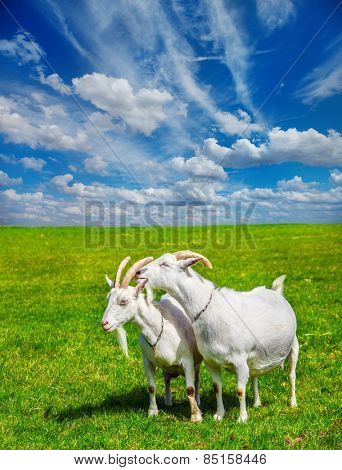 Summer rural scene: two white goats in a meadow