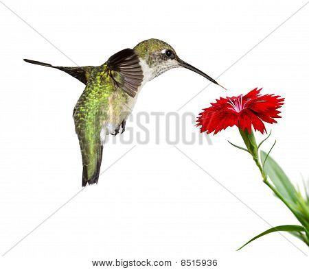 hummingbird and a dianthus