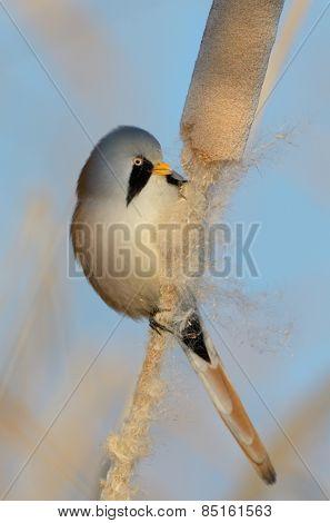 beraded tit - reedling - in natural habitat (panurus biarmicus)