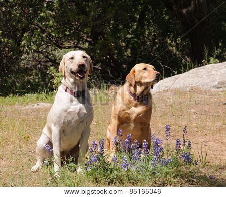 Pair of Labrador dogs sitting obediently waiting for instruction