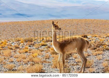 Guanaco (Lama Guanicoe) in Patagonia