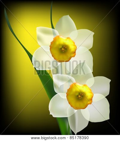 illustration with two narcissus flowers on dark background