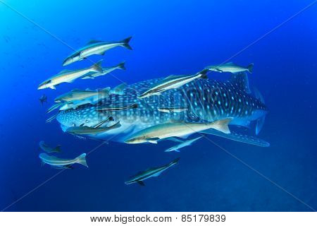 Whale Shark with Remora and Cobia fish