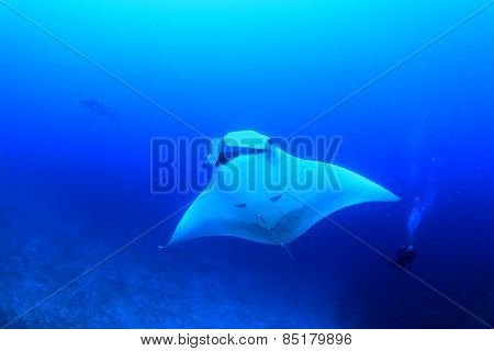 Manta Ray and Scuba Diver