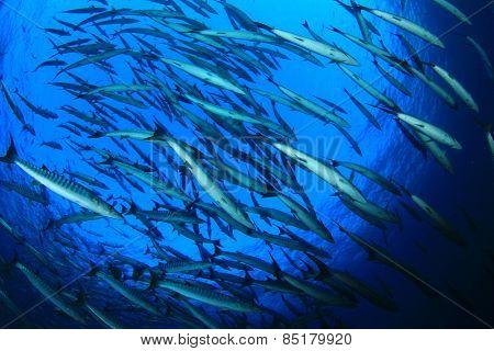 School Blackfin Barracuda fish