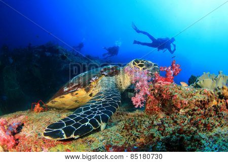 Hawksbill Sea Turtle feeds on coral with people scuba diving in background