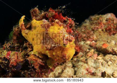 Painted Frogfish (Anglerfish)(Antennarius pictus)