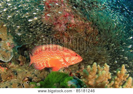 Coral Grouper (Hind) fish and Glassfish
