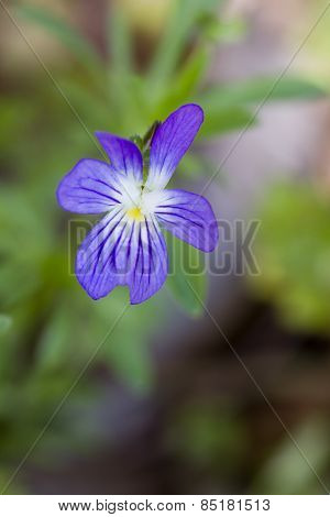 Common Blue Violet Wilflower