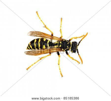 soft focus wasp isolated on white background
