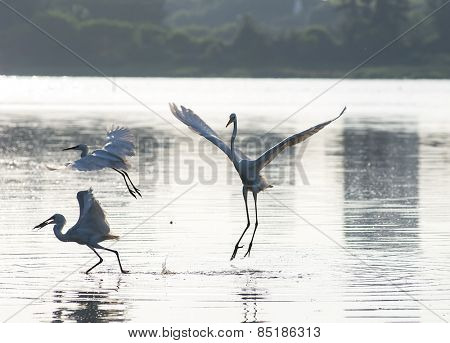 unfocused egret play in water land