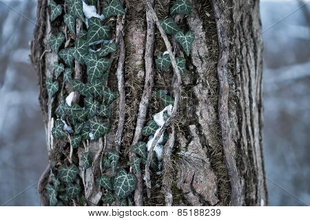 Tree trunk with ivy in the winter.
