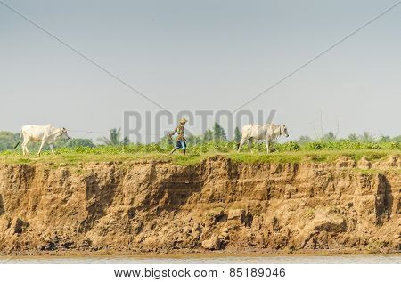 PHNOM PENH, CAMBODIA, JANUARY 2, 2013:  A peasant leads his oxes on riverside of Bassac river