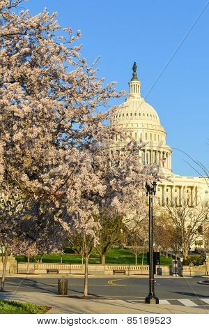 Washington DC in Spring - The Capitol building and  blossoms