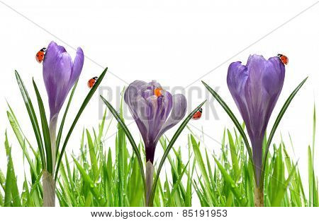Crocus flowers with dewy green grass and ladybirds on white background