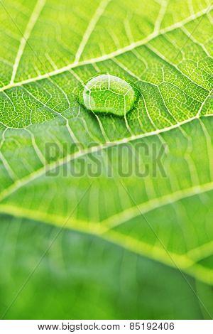 Water drop on fresh green leaf macro