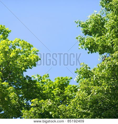 Beautiful background of linden tree at sunny day