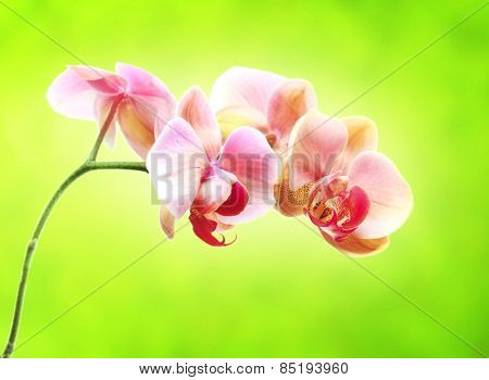 Beautiful gentle branch of rose romantic orchid flowers on green background
