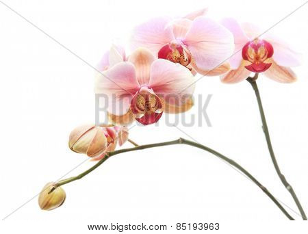 Beautiful gentle branch of pink romantic orchid flowers isolated on white background